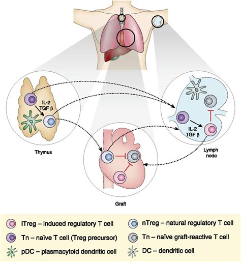 Regulatory T Cell Induction, Migration, and Function in